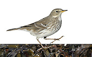 Water Pipit - Anthus spinoletta. (L 16-17cm) is a winter visitor to Britain and Ireland and invariably found near freshwater. During the winter months it has streaked dark buffish brown upperparts and pale underparts, streaked and flushed buffish brown on the breast and flanks; the throat is white and unmarked and the whitish supercilium contrasts with the dark eyestripe. Before birds depart in April, they usually acquire breeding plumage where the underparts become unmarked and flushed pinkish on the breast; the back is brown and the head and neck are grey. Look for Water Pipits at watercress beds and sewage works in SE England in winter.