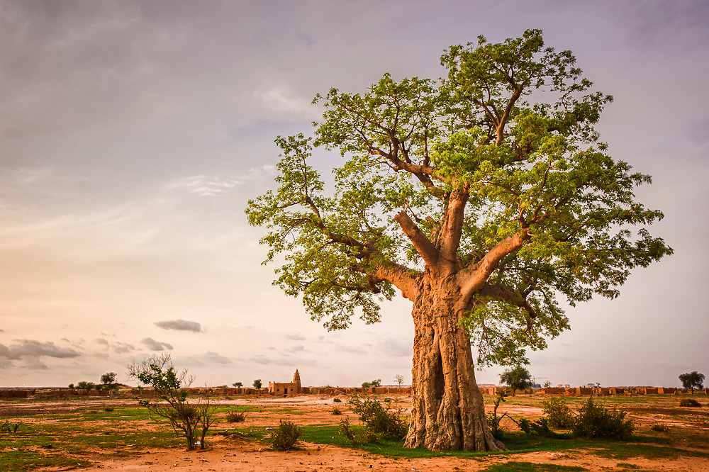 Baobab tree in the Sahel of northern Burkina Faso