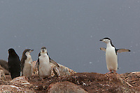 Chinstrap Penguin (Pygoscelis antarctica) breeding colony with large chicks.  Useful Island, Gerlache Strait.