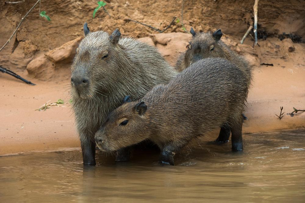 Capybara (Hydrochoerus hydrochaeris) family<br /> Northern Pantanal<br /> Mato Grosso<br /> Brazil
