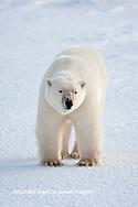 01874-12005 Polar Bear (Ursus maritimus) in winter, Churchill Wildlife Management Area, Churchill, MB Canada