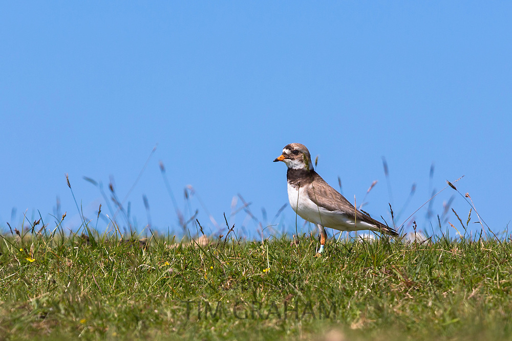Little Ringed Plover male bird, Charadrius dubius, which has been ringed in Coigach region of the Scottish Highlands