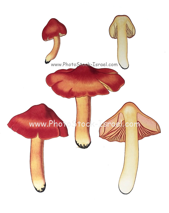 Hygrocybe punicea, sometimes called Crimson- or Scarlet Waxy Cap, is a colourful member of the genus Hygrocybe, the waxcaps, found across Northern Europe. Originally described as Hygrophorus puniceus, it is the largest member of the genus. from the book Sveriges ätliga och giftiga svampar tecknade efter naturen under ledning [Sweden's edible and poisonous mushrooms drawn after nature under guidance] By Fries, Elias, 1794-1878; Kungl. Svenska vetenskapsakademien Published in Stockholm, Sweden in 1861