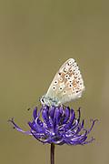 Chalkhill blue (Polyommatus coridon) butterfly nectaring on round-headed rampion (Phyteuma orbiculare). Sussex, UK.