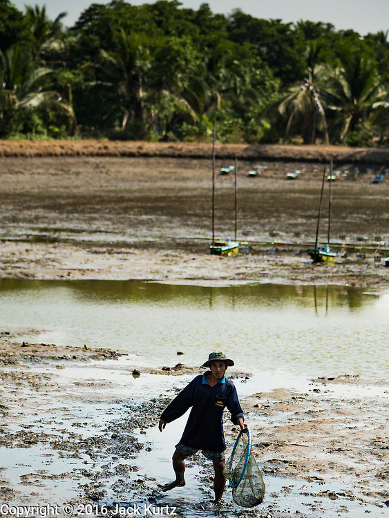 01 MARCH 2016 - CHACHOENGSAO, THAILAND: A worker walks through a pond looking for shrimp that escaped the nets on a shrimp farm in Chachoengso province of Thailand. Thailand is one of the leading shrimp exporters in the world and aquaculture is an important component of the Thai export economy. Thai government officials have warned that there may not be enough water in the country's reservoirs to provide adequate water for farming, including fish and shrimp farms, industrial needs and domestic consumption. The government has told rice and fish farmers to reduce their use of water, and if necessary to reduce their crops. The current El Niño weather pattern is being blamed for the drought. The 2015 rainy season was well below normal and the 2016 rainy season could start two months late.    PHOTO BY JACK KURTZ