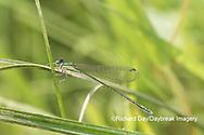 06330-00102 Spaghnum Sprite (Nehalennia gracilis) female in fen Dent Co. MO