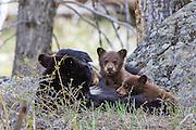 Black bear sow nursing cubs
