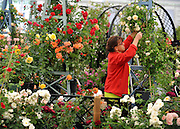 © under license to London News Pictures. LONDON, UK  19/05/2011.A women prunes the roses on a stand. Exhibitors ready their displays today (19 May 2011) ahead of The Chelsea Flower show in London. Every year the grounds of the Royal Hospital, London, are transformed into show gardens, inspirational small gardens and vibrant horticultural displays that make up the world's most famous flower show which runs from 24 May 2011 to 28 May 2011. Photo credit should read Stephen Simpson/LNP.