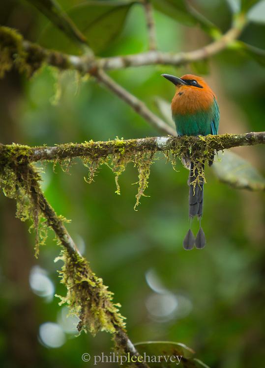 Broad-billed Motmot bird, Mashpi Reserve, Ecuador, South America