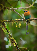 Broad-billed Motmot bird, Mashpi Reserve, Ecuador, South America