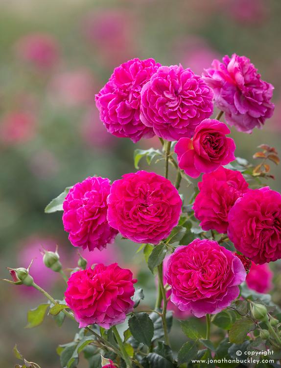 Rosa 'Gabriel Oak' syn. 'Auscrowd'