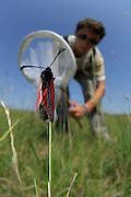 Eric Frielinghaus aus dem BIO LK von Schulklasse von Friedrich Körner (Experte für Hummeln und Schmarotzerhummeln) fängt zur Bestimmung ein Beilfleck-Rotwidderchen  oder Beifleck-Blutströpfchen  (Zygaena loti)   The Slender Burnet (Zygaena loti), a European moth on a field in Crawinkel