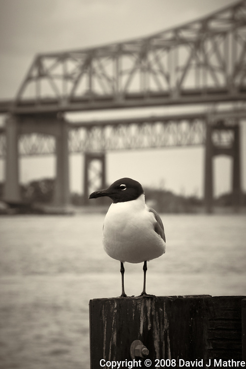 Seagull along Mississippi River in New Orleans, Louisiana. Image taken with a Nikon D300 and 18-200 mm lens (ISO 200, 150 mm, f/11, 1/125 sec). Processed with Capture One Pro (including conversion to B&W).