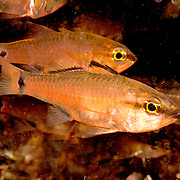 Slenderline Cardinalfish inhabit coastal reefs. Picture taken Lembeh Straits, Sulawesi, Indoneisa.