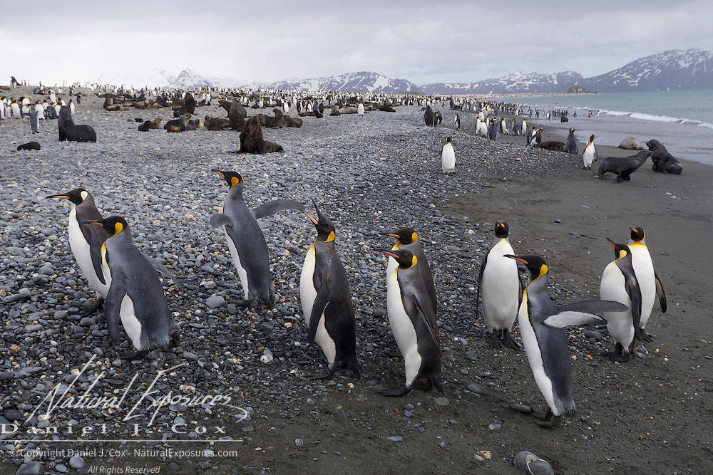 King Penguins at Salisbury Plain that has a rookery of over 500,00 birds. South Georgia.   King Penguins and Antarctic fur seals on the beach at Salisbury Plain that has a rookery of over 500,00 King penguins. South Georgia.