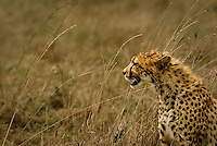 A young Cheetah resting after a kill in the Masai Mara National Park, Kenya