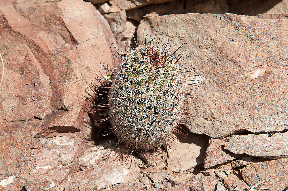 """The Arizona fishhook cactus (also known as Graham's nipple cactus) is not only limited to Arizona, but is  also found in California, New Mexico and Texas, as well as much of Northern Mexico. One of the most interesting things about this particular native species of the Sonoran and Chihuahuan Deserts are the recurved """"fishhook"""" spines. This one was found in Southern Arizona's Diablo Mountains near the Mexican border."""