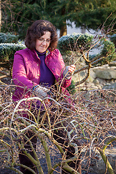 Pruning an acer tree in winter