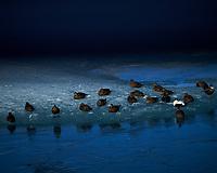 Common Eider ducks resting. Jökulsárlón Glacier and Lagoon. Image taken with a Nikon Df camera and 70-200 mm f/4 lens (ISO 100, 200 mm, f/5.6, 1/1600 sec)