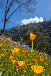 """""""California Poppies 3"""" - These wild California Poppy flowers were photographed near Windy Pt. along the North Fork American River."""