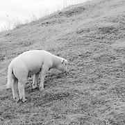 Lone Hillside Grazing Lamb - Avebury, UK - Infrared Black & White