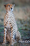 The close-up portrait of a cheetah (Acinonyx jubatus) posing in a sitting position, Masai Mara, Kenya,Africa