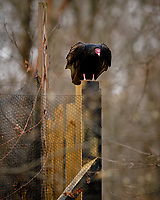 Turkey Vulture on a Post across the Street. Image taken with a Fuji X-T3 camera and 200 mm f/2 OIS telephoto lens (ISO 320, 200 mm, f/2, 1/250 sec).