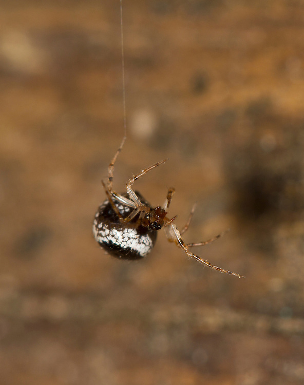 Theridion balckwalli - Adult female. Small Theridiid spider. An uncommon species found mainly around buildings.