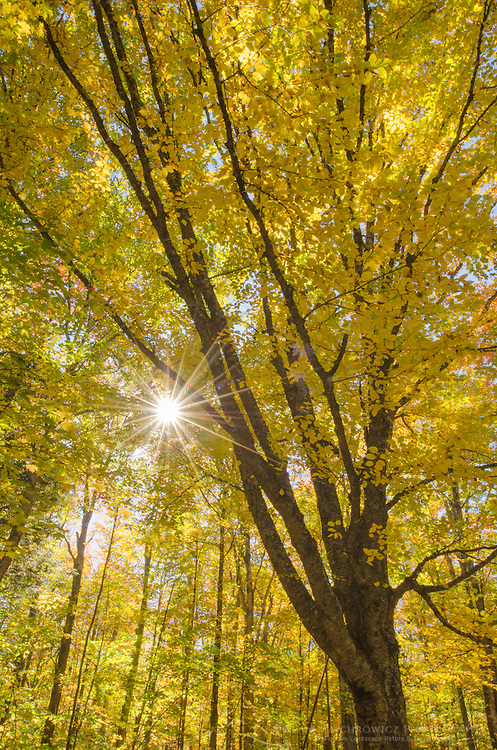 Sun rays bursted through trees in golden fall foliage, Groton Woods, Vermont