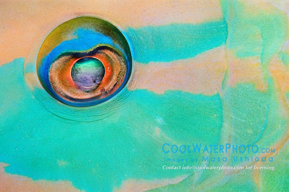 stoplight parrotfish, Sparisoma viride, close up of eye, terminal phase, sleeping at night, Key Largo, Florida Keys National Marine Sanctuary, USA, Caribbean Sea, Atlantic Ocean