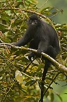 Black Colobus (Colobus satanus satanus) monkey.  Endangered Species (IUCN Red List: EN).