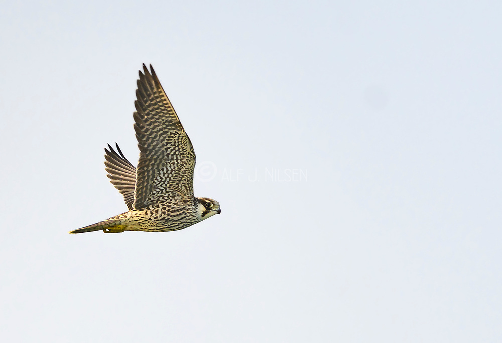 A juvenile peregrine falcon (Falco peregrinus) flying off Revtangen (Rogaland, western Norway) in September.