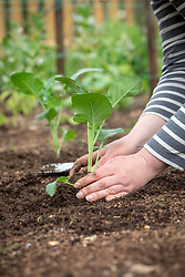 Planting out young Calabrese plants - Green sprouting broccoli