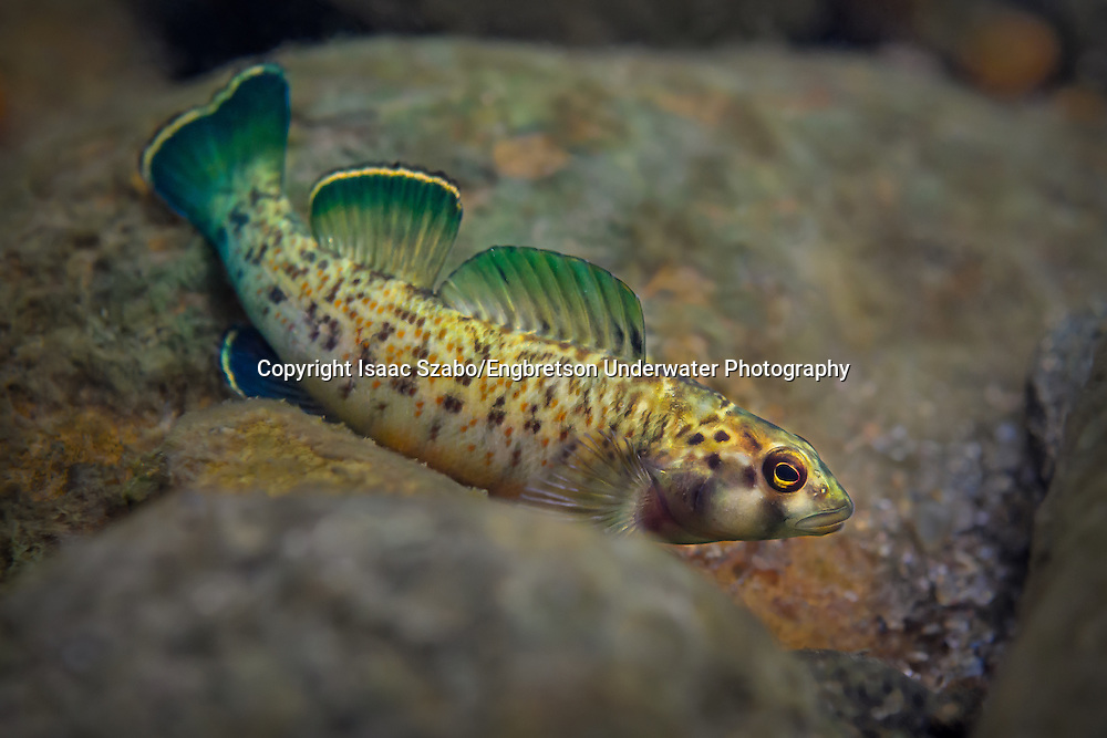 Greenfin Darter<br /> <br /> Isaac Szabo/Engbretson Underwater Photography