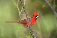 Bird, Northern Cardinal, Male, Cardinalis cardinalis