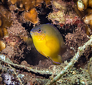Pomacentrus moluccensis, the lemon damselfish, is a species of bony fish in the family Pomacentridae