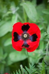Papaver commutatum 'Ladybird'. Ladybird poppy