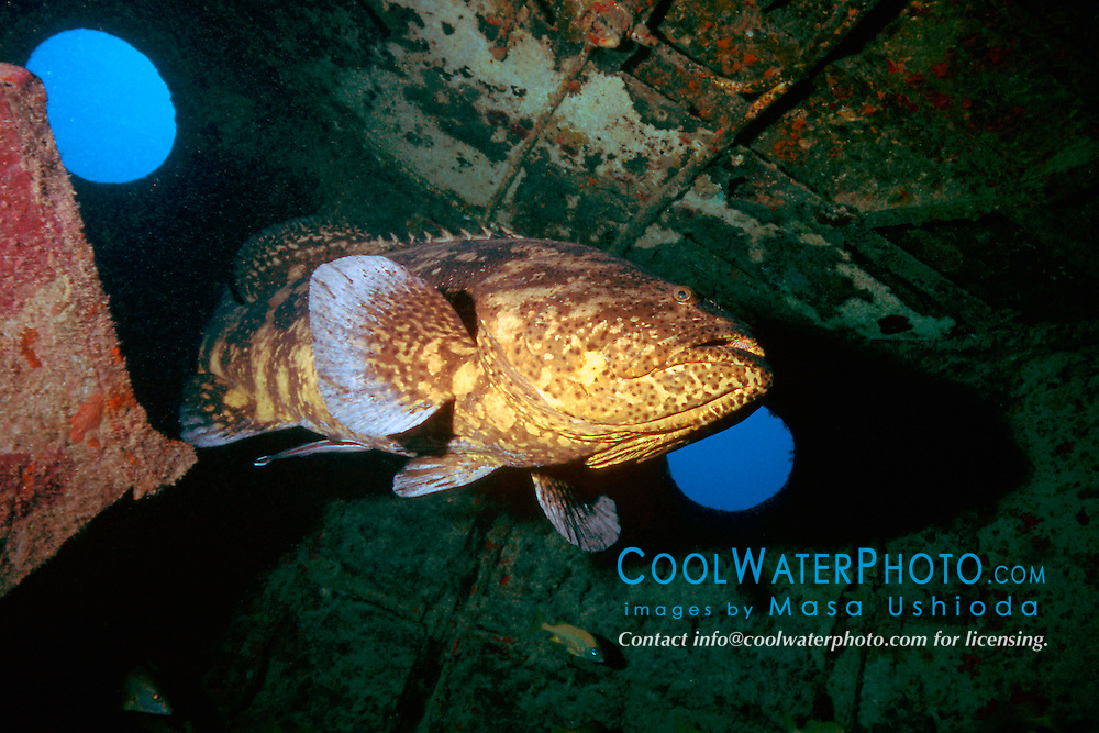 Goliath grouper or Jewfish, Epinephelus itajara, Tugboat wreck, Key West, Florida Keys National Marine Sanctuary, Atlantic Ocean