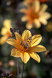 Dahlia 'Bishop of York' - with butterfly.