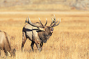 Rocky Mountain bull elk bugle during the autumn rut