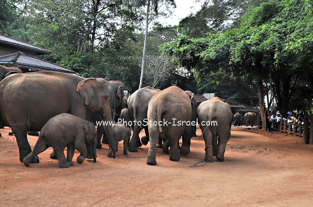 Sri Lanka a herd of work elephants