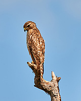 Red-shouldered Hawk perched on a dead tree just north of the Wilson's Corner intersection. Merritt Island National Wildlife Refuge. Image taken with a Nikon D3x camera and 600mm f/4 VR lens (ISO 100, 600 mm, f/9, 1/320 sec).