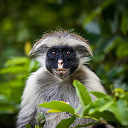 Jozani Forest- this is a Zanzibar Red Colobus monkey. They only exist on Zanzibar and are one of the rarest monkeys in Africa.