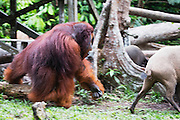 A dominant flanged male orangutan (Pongo pymaeus) chasing a wild forest pig at a feeding station, Camp Leakey, Tanjung Puting National Park, Central Kalimantan, Borneo, Indonesia