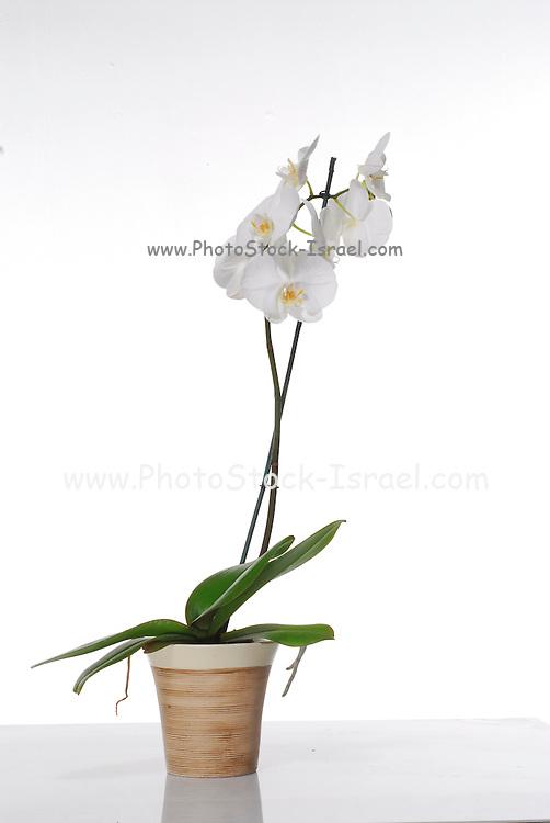 White Phaleanopsis Orchid on white background