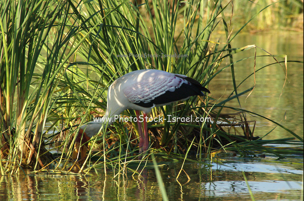 Africa, Ethiopia, Lake Tana, Yellow-billed Stork, Mycteria ibis,