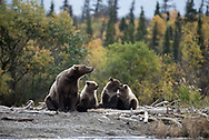 A mama bear (Bear 482) with her three spring cubs along the mouth of the Brooks River in Alaska.