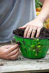 Planting up a direct fill hanging basket with plugs