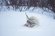 01874-13510 Polar Bear (Ursus maritimus) cub playing with willow branch, Churchill Wildlife Management Area, Churchill, MB