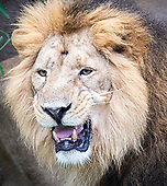 World Lion Day ZSL London Zoo 9th August 2018